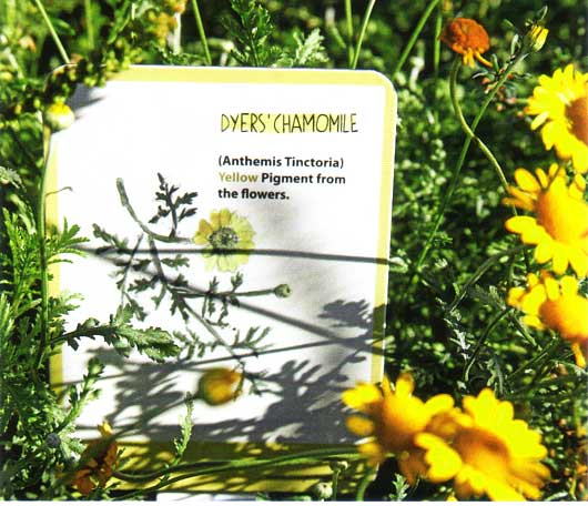 Dyers' Chamomile
