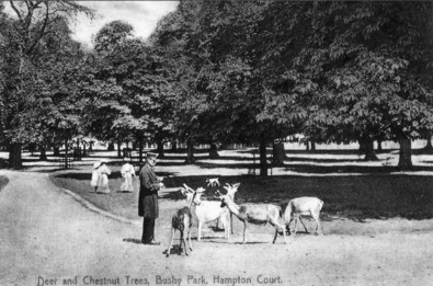 Deer and chestnut trees in Bushy Park