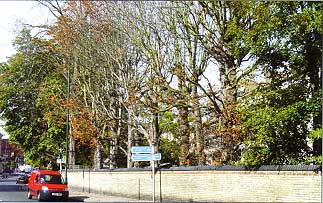 Infected horse chestnut trees in Twickenham