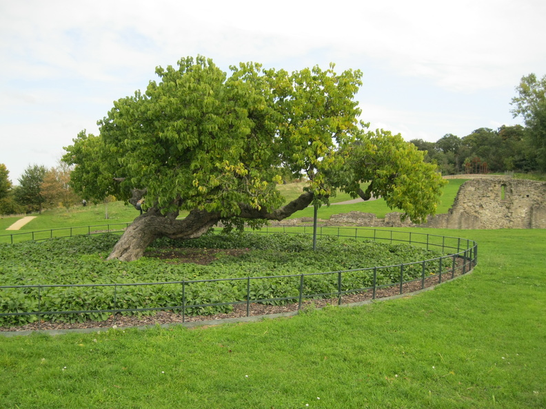 Lesnes Abbey - Mulberry