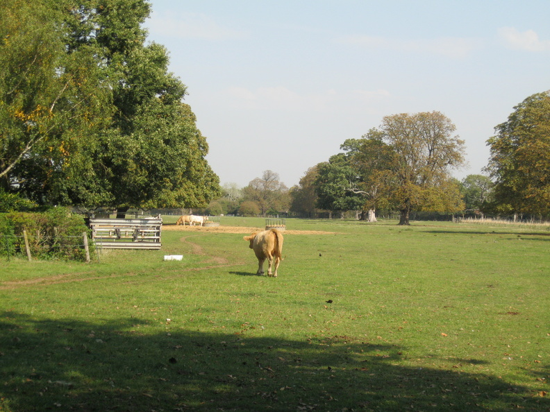Osterley Park - cattle